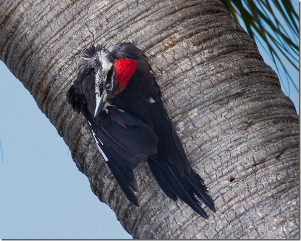 Pileated-Woodpecker_thumb.jpg