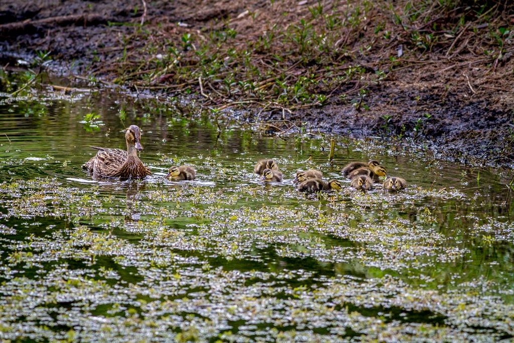 Ducklings1.jpg