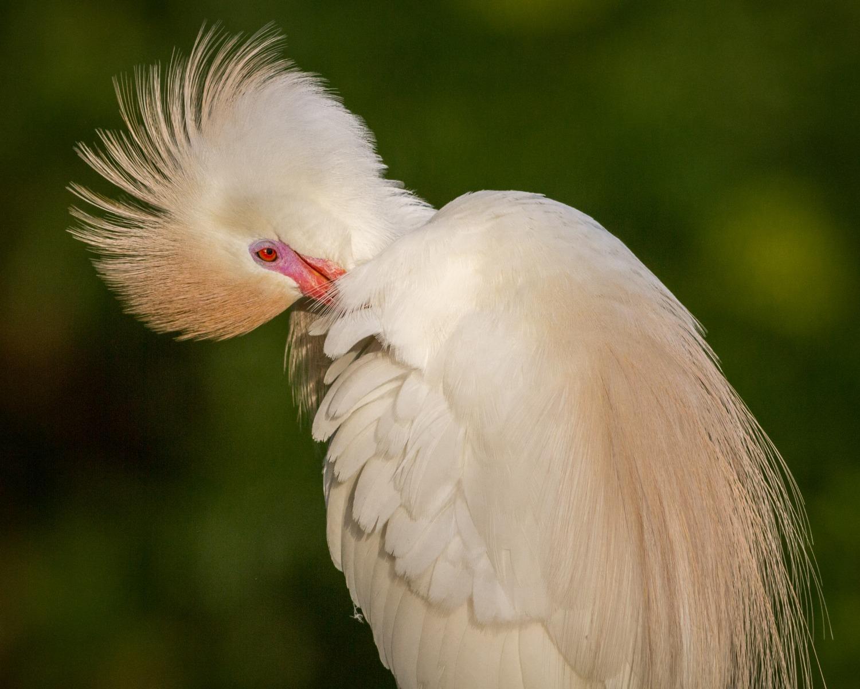 Cattle Egrets in breeding plumage