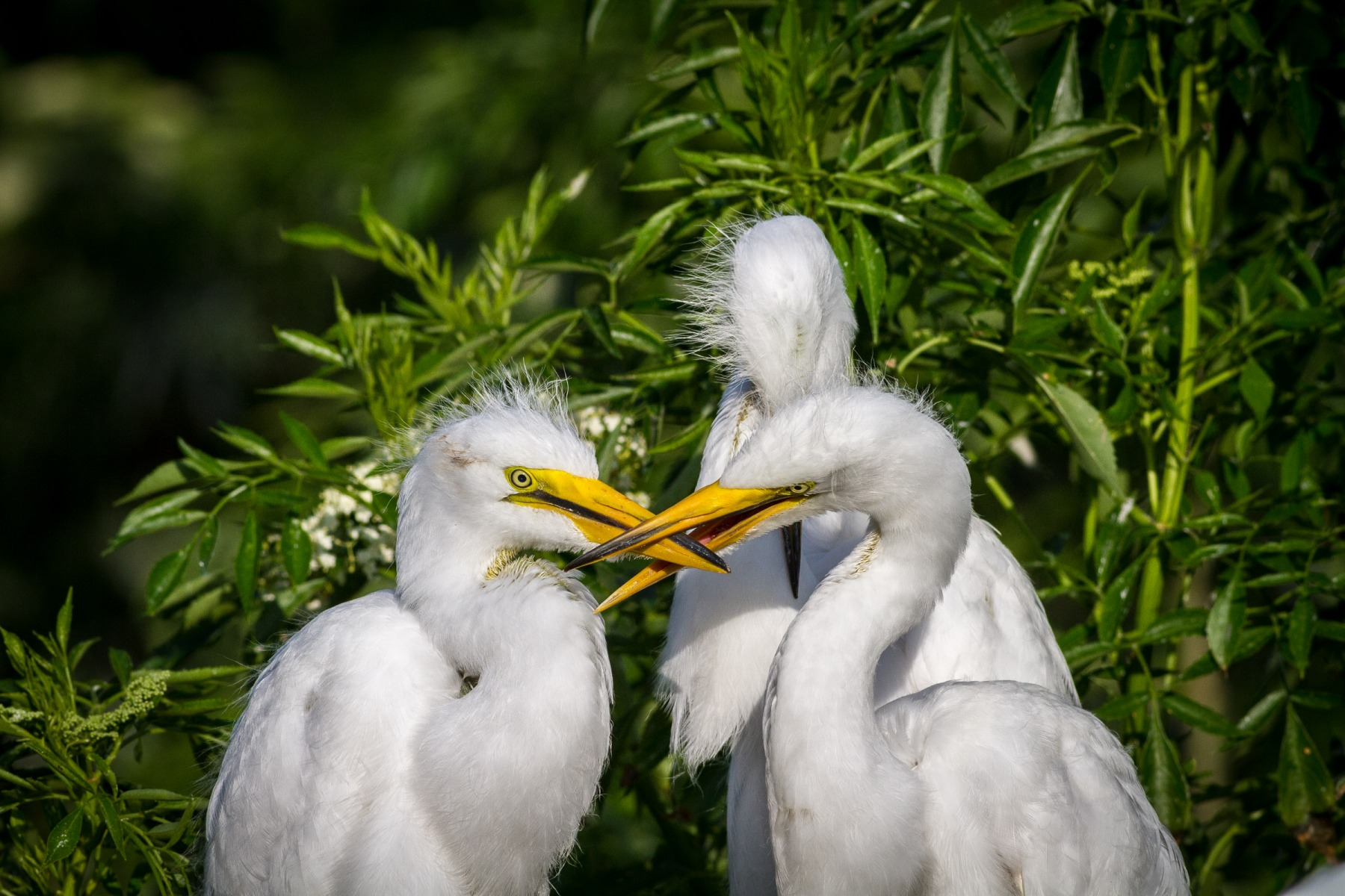 Great Egret Sibling Rivalry