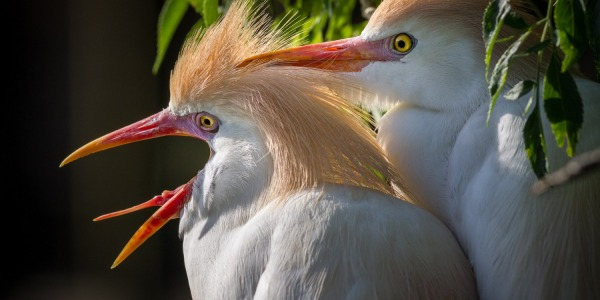 Cattle Egrets in breeding plumage